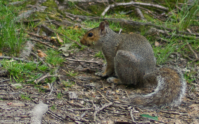 Common Grey Squirrel