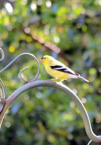 First GoldFinch